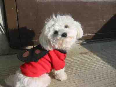 كلب-لولو-صغير